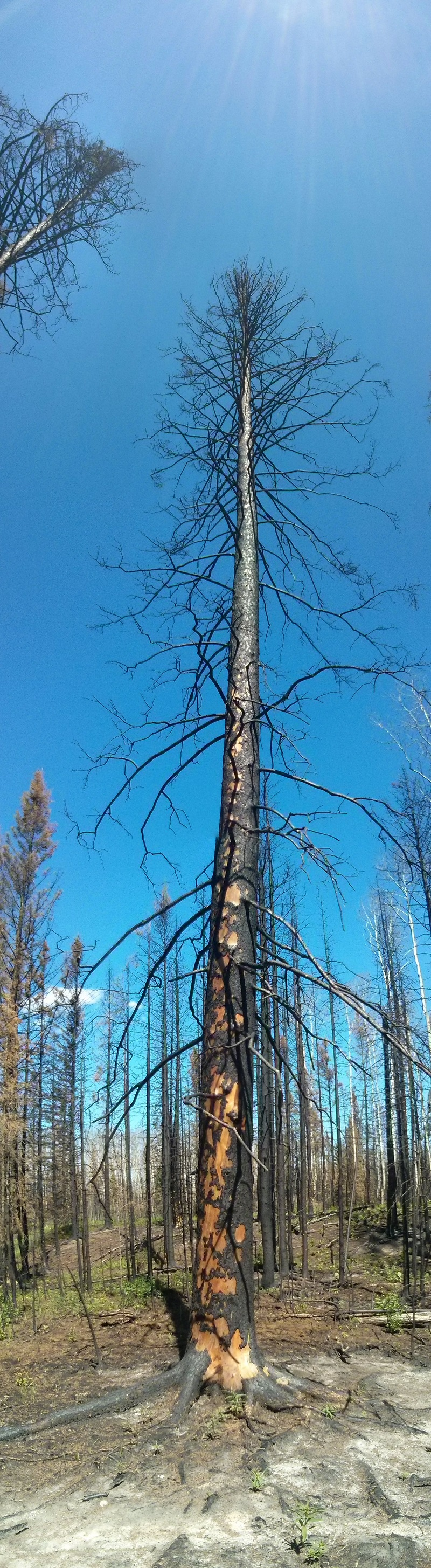 burnedspruce