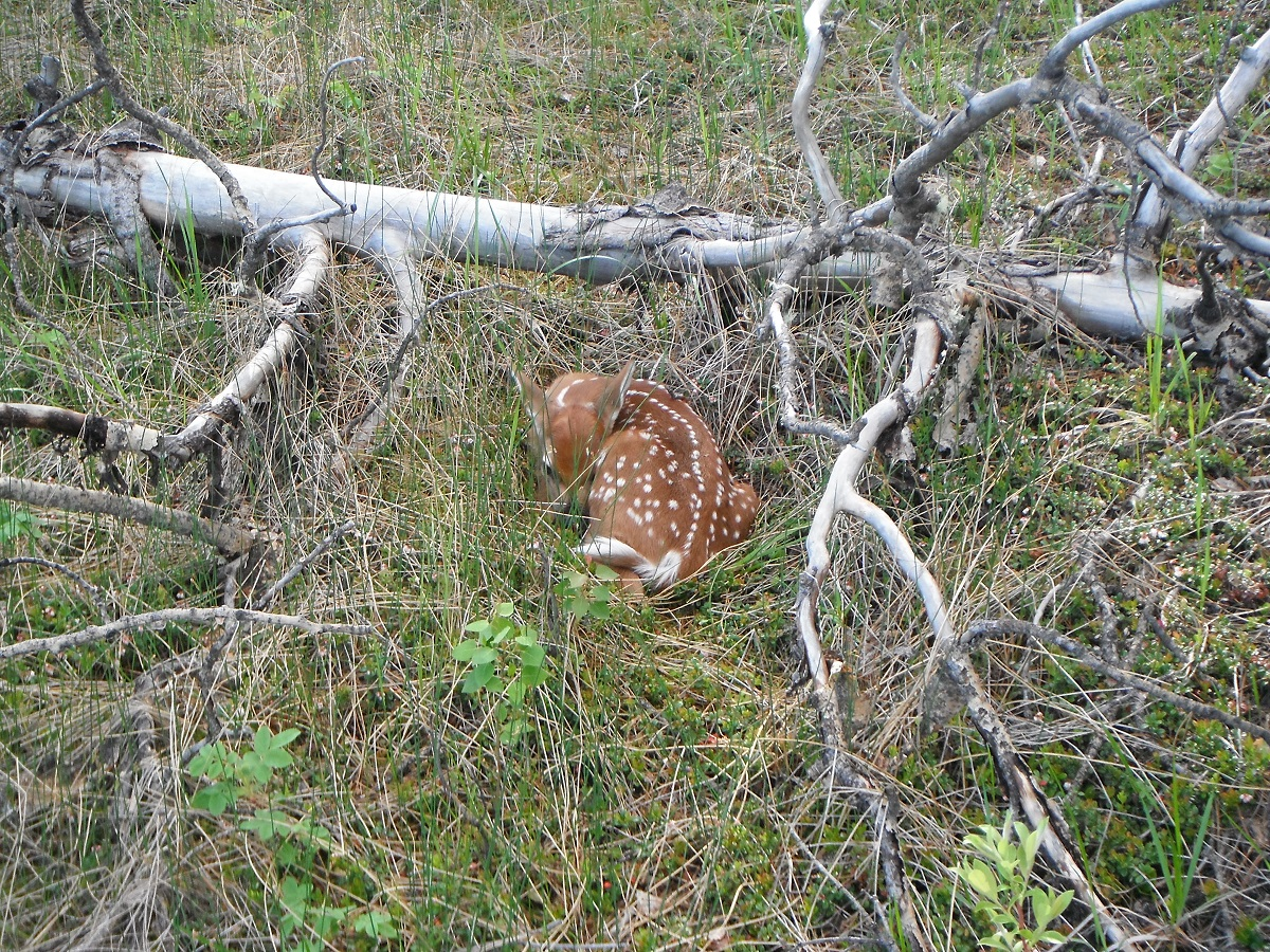 Picture of the Week – Fawn