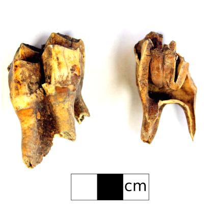 Moose teeth found at GfQa-5