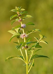 Edible Plant Series – Wild Mint